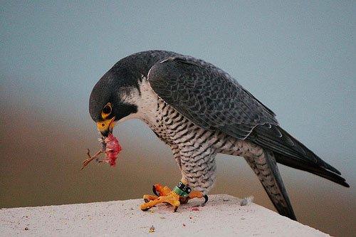 birdeating1